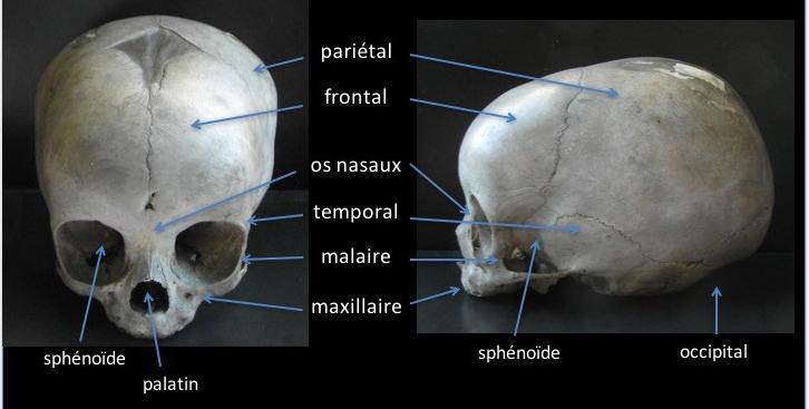 anat crâne